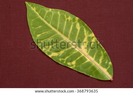 Green and yellow tropical leaf against a maroon background. - stock photo