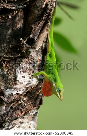 Green anole - stock photo