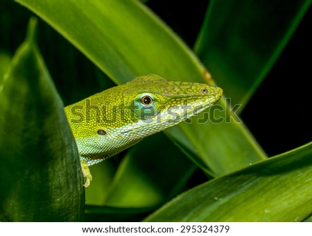 Green Anole among leaves - stock photo