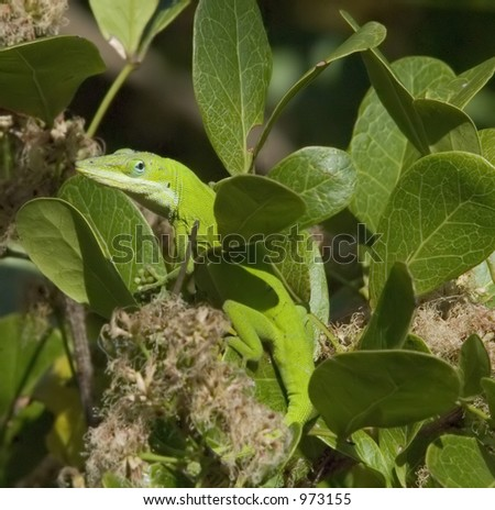 Green anole (Anolis carolinensis) changes colors to match surroundings
