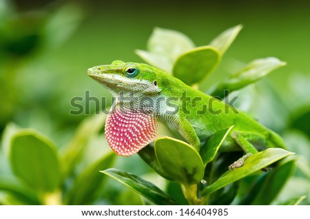 Green Anole lizard (Anolis carolinensis) showing off his bright pink dewlap - stock photo