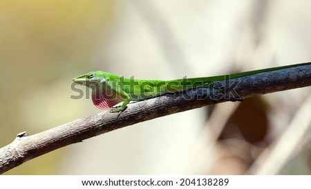 Green Anole Lizard sitting (dactyloidae) on a branch  - stock photo
