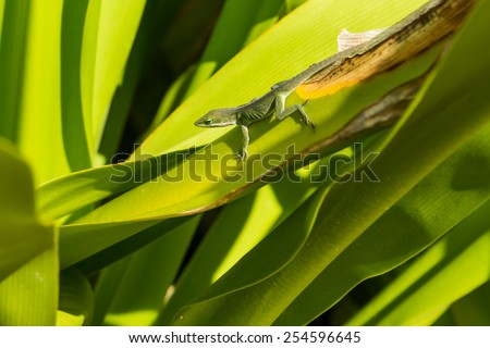 Green Anole Lizard sunning itself on a leaf - stock photo