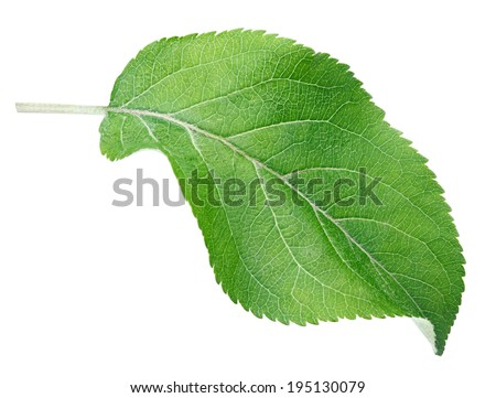 Green apple leaf isolated on white with clipping path - stock photo