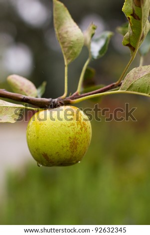 Green Apple on a branch with morning dew on it