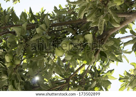 Green apple    pomaceous fruit of the apple tree, species Malus domestica growing on a seedling apple tree in a home garden  will turn red when it ripens  in early autumn  and be picked for eating. - stock photo