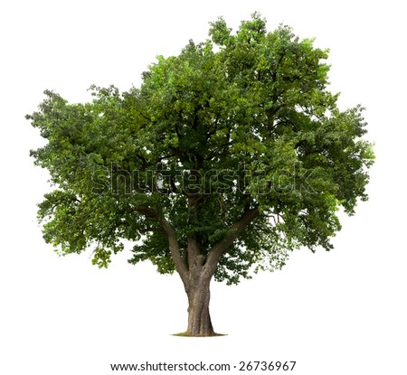 Green Apple tree isolated against white - stock photo