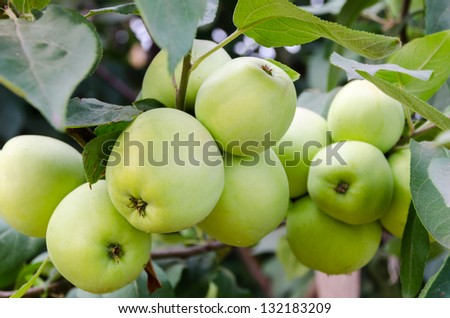 Green apples grow in the garden on a branch. - stock photo