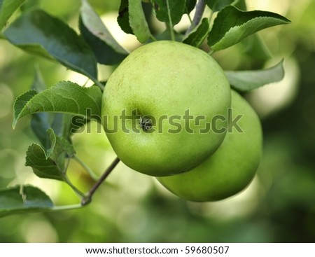 green apples in the garden - stock photo