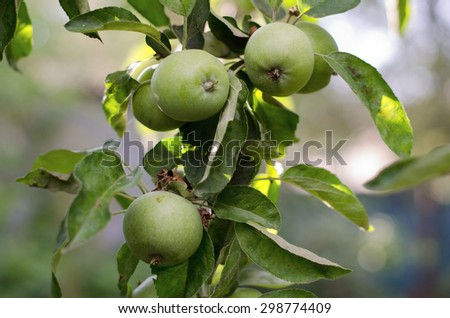 Green apples on a tree  - stock photo