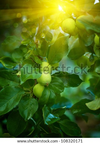 Green apples on an apple-tree branch in garden - stock photo