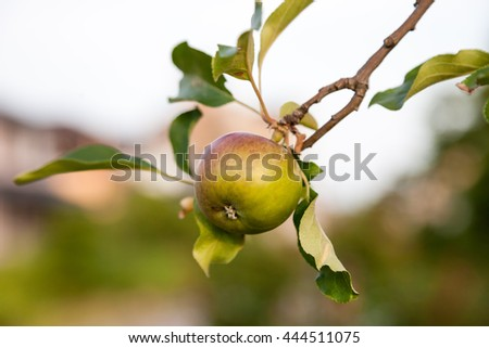 Green apples on apple tree branch in a garden. - stock photo