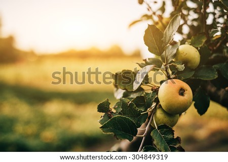 Green apples on tree - stock photo