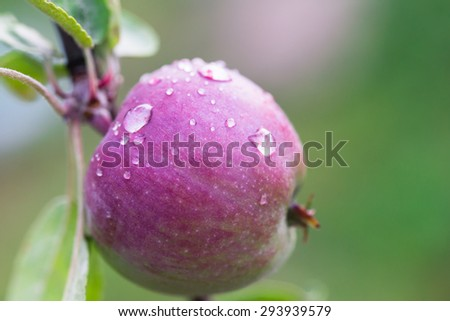 Green apples with dew drops on the tree