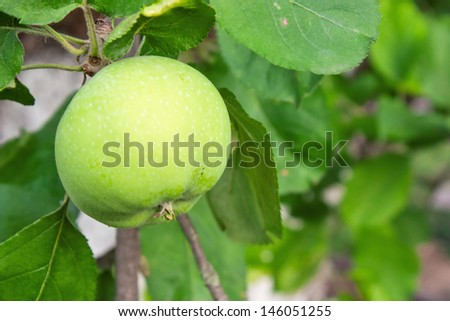 green apples with leaves on branch of tree in garden