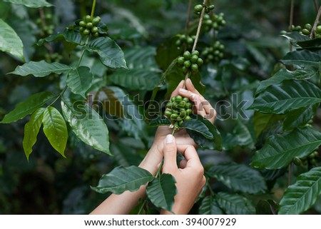 Green arabica coffee fruits in tender woman hands - stock photo