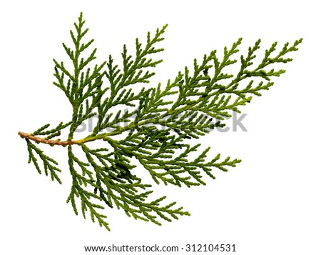 Green arborvitae branch isolated on the white background - stock photo