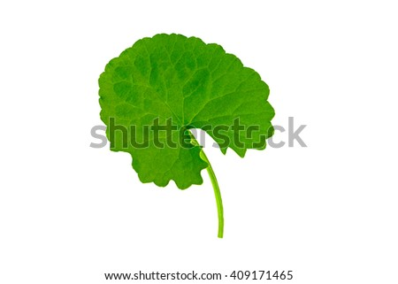Green Asiatic Pennywort (Centella asiatica , Hydrocotyle umbellata L or Water pennywort )  isolated on white background.Saved with clipping path. - stock photo