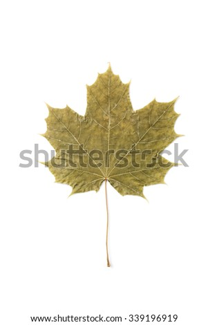 Green autumn maple leaf, isolated on white background with clipping path - stock photo