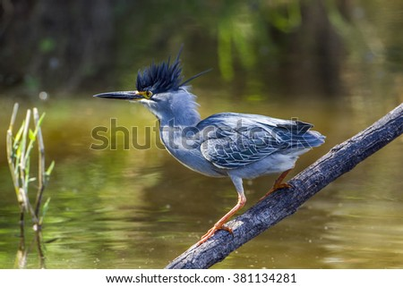 Green-backed heron in kruger national park, South Africa ; Specie Butorides striata family of ardeidae - stock photo