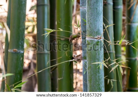 Green background of fresh hard bamboo. Soft focus