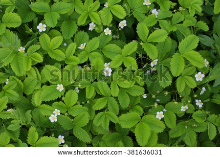 Green background of strawberry leaves  - stock photo