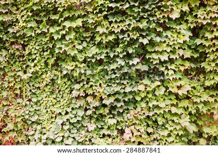 Green background, overgrown with ivy on the wall - stock photo