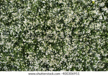 green background with small white flowers, Gerdenia Crape Jasmine with green leaves wall background and textured. Can used it for template or beautiful background on website - stock photo