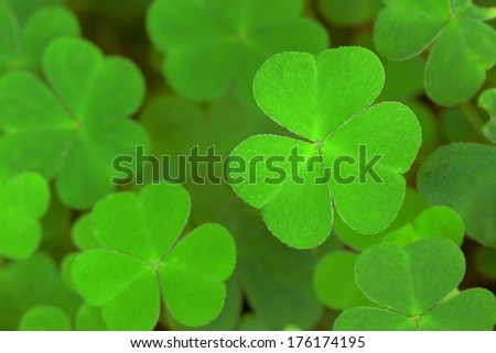 green  background with three-leaved shamrocks. St.Patrick's day holiday symbol. Shallow depth of field, focus on near leaf. - stock photo