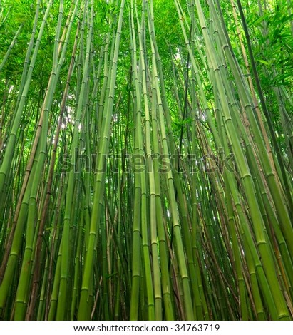 Green Bamboo Forest Canopy - stock photo