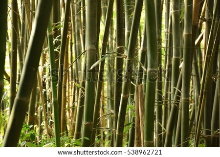 Green bamboo forest in Hong Kong, China