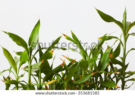 green bamboo in pot - stock photo