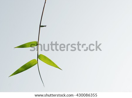 Green bamboo leaves with morning raindrops and copy space,  sky background, ant eye view. - stock photo