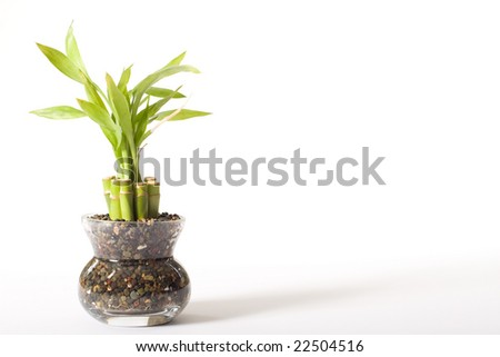 Green bamboo plant in a glass vase isolated on a white background.