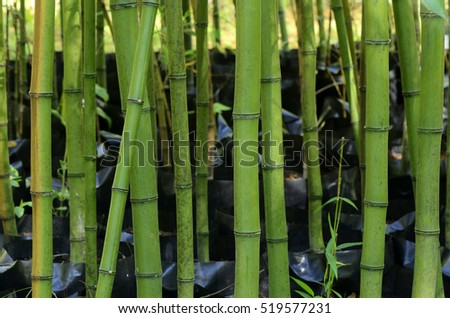 Green Bamboo plantation with green color in the farm