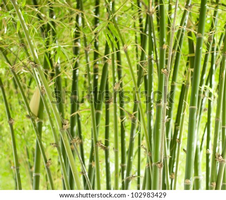 Green bamboo stems, leaves, branches are all green.