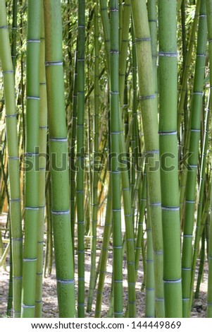 Green bamboo trees in a Japanese garden.