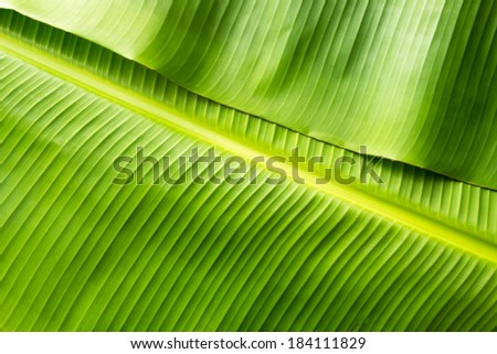 Green banana leaf background abstract - stock photo