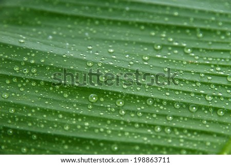 Green banana leaf, dew