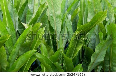 Green Banana leaf in nature, Banana leaf - stock photo