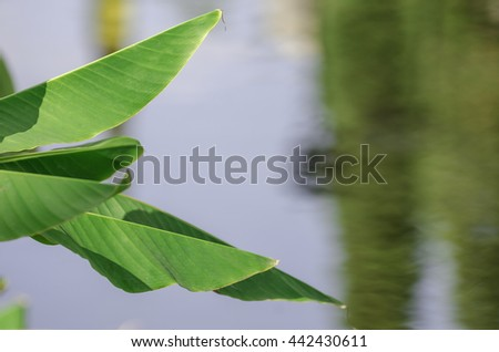 Green Banana leaf in nature, Banana leaf