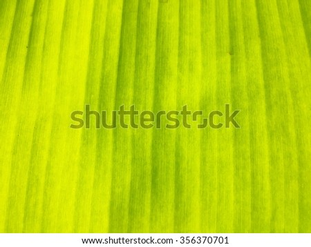 Green banana leave textures background - stock photo