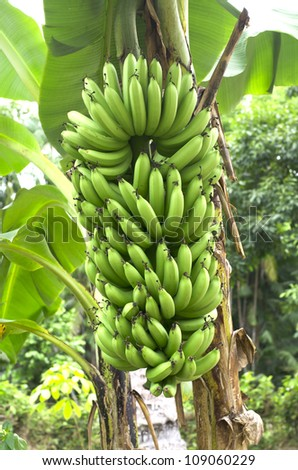 green banana on a tree in forest. - stock photo
