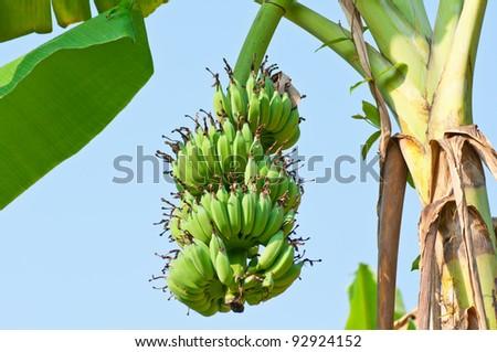 Банан дерево или кустарник