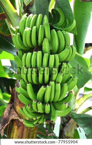 Green bananas - stock photo