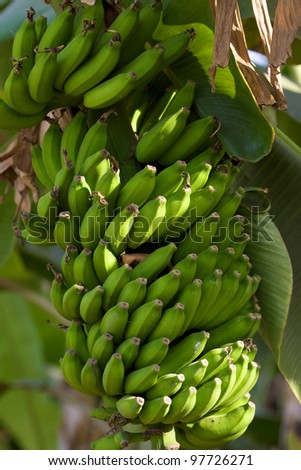 Green bananas on a branch of palm