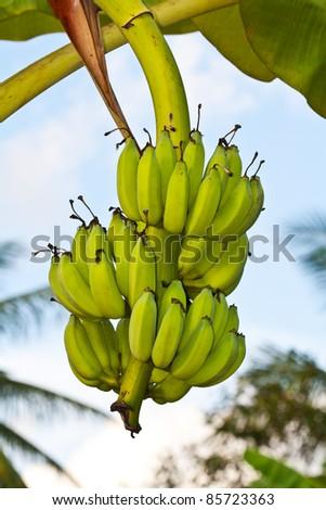 Green bananas on a tree - stock photo