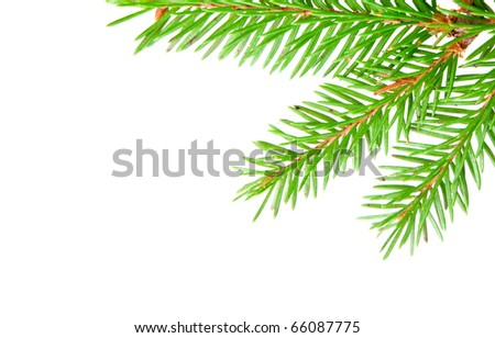 green banch of fir isolated on white