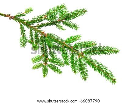 green banch of fir isolated on white - stock photo
