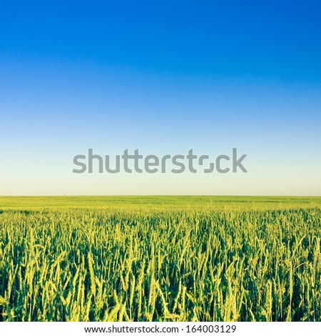 Green Barley Field In Early Summer. Agricultural background. Blue sky - stock photo